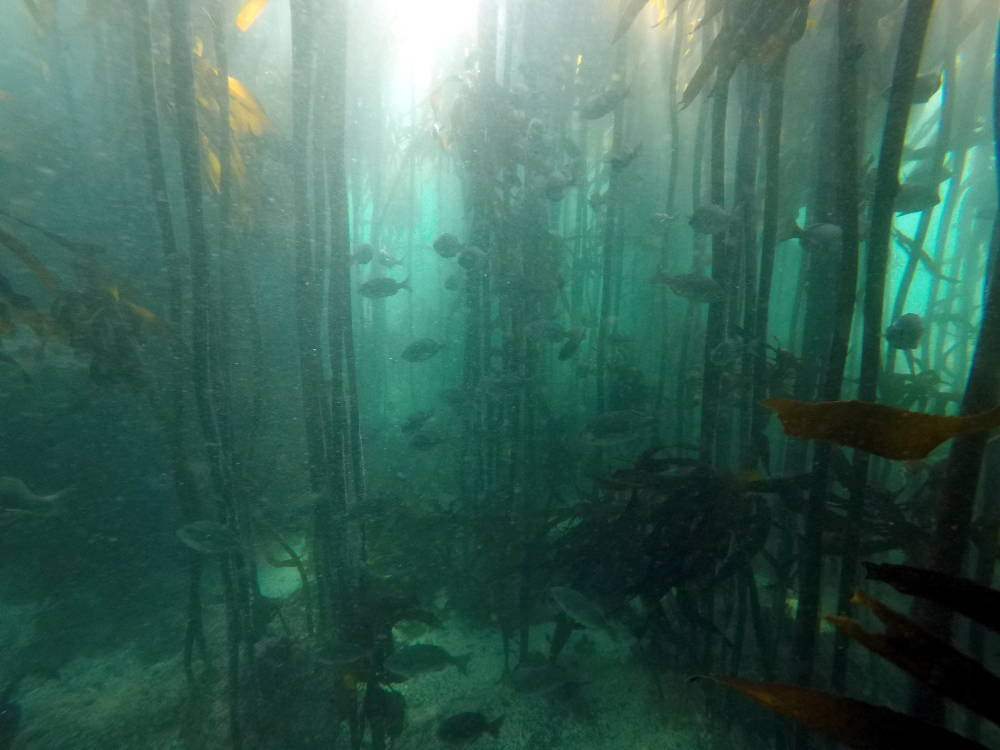 School of fish in kelp