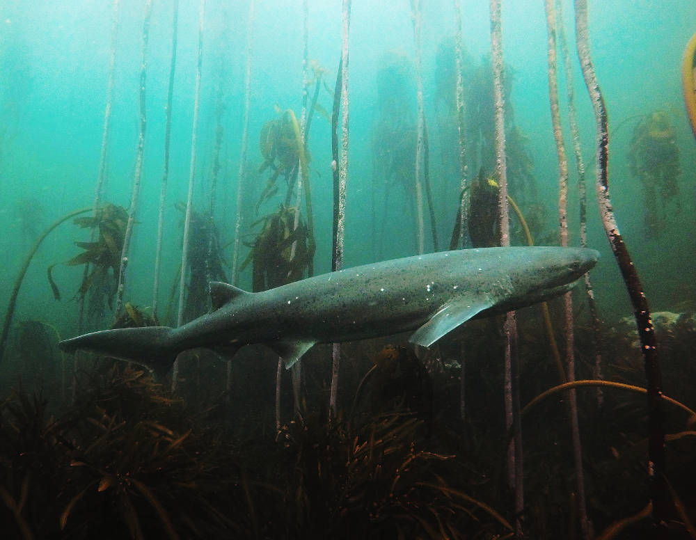 A sevengill cow shark swims through the kelp forest.