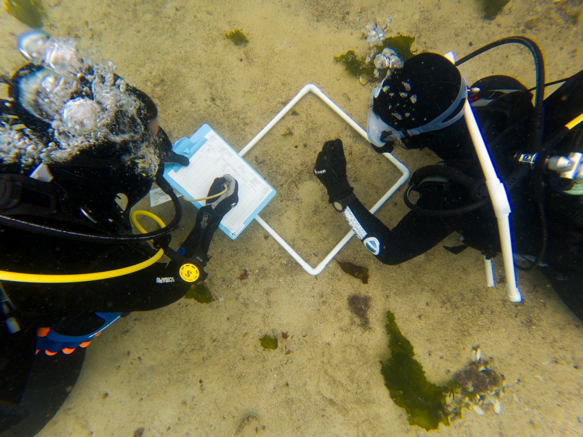 Divers sample from a quadrat