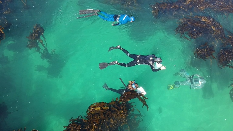 Snorkelers collecting data in the kelp forests of False Bay. Freediving.