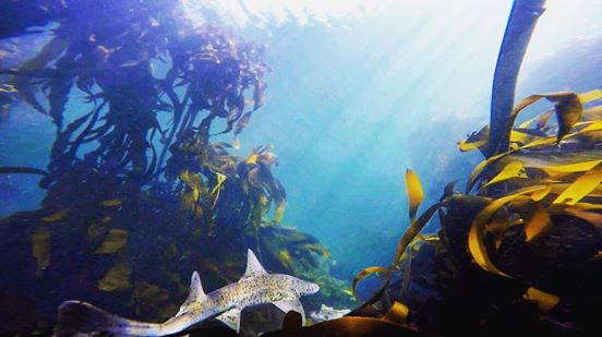 diving in the kelp forests of Cape Town with sharks and fish species