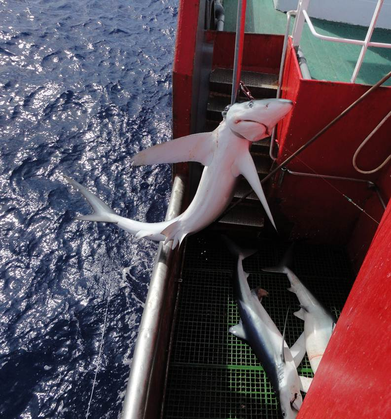 blue shark being caught by longline vessel