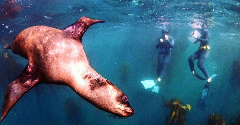 Seal playing with Cape RADD snorkel citizen scientists