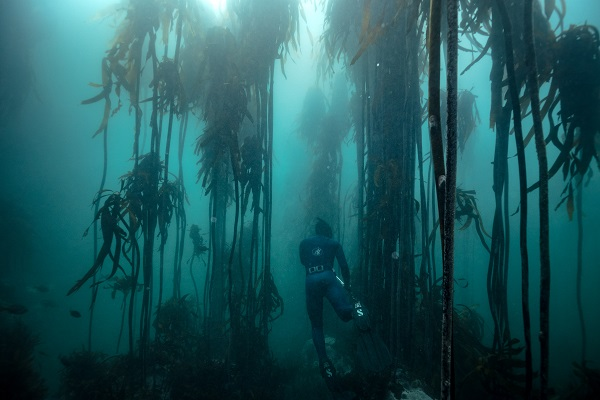 kelp forest diving