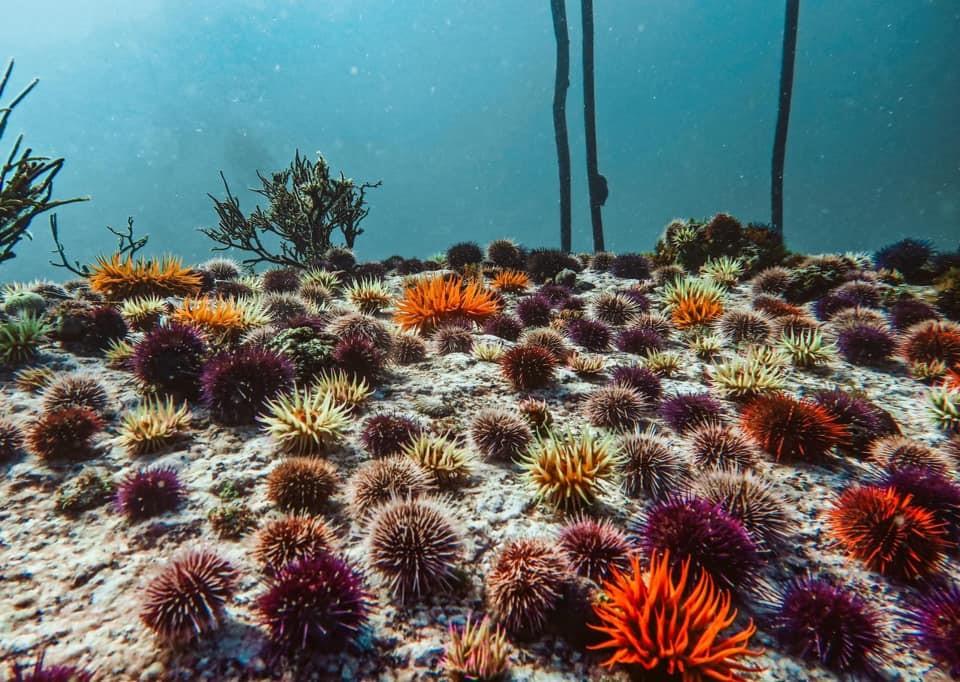 Sea Urchin baron